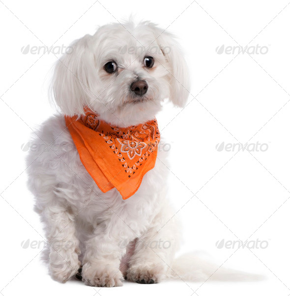maltese dog (7 years old) - Stock Photo - Images