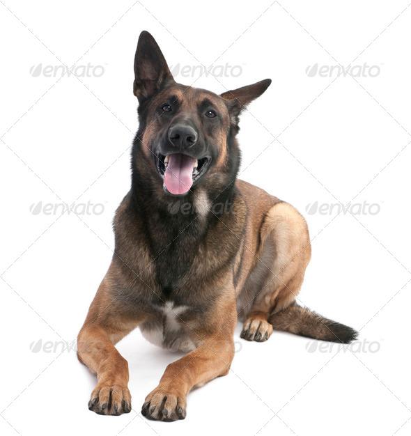Belgian Shepherd Dog (Malinois) (2 years old) - Stock Photo - Images