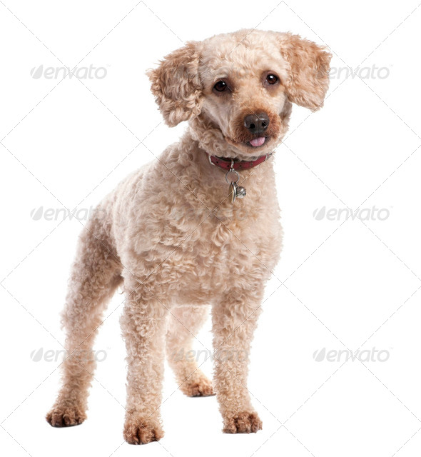 old Poodle (10 years old) - Stock Photo - Images