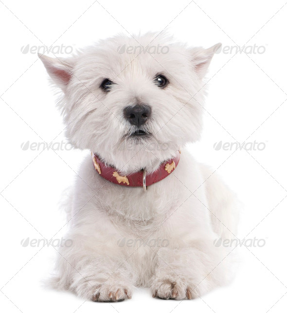 West Highland White Terrier (8 years old) - Stock Photo - Images