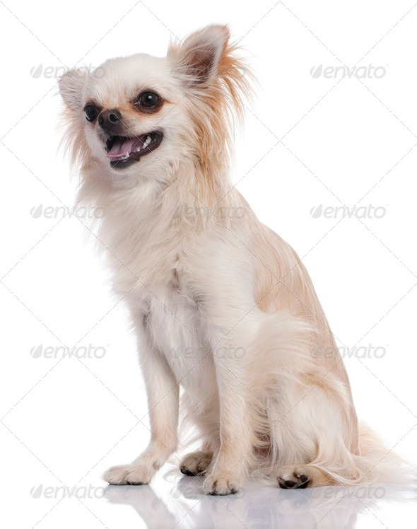 Beige chihuahua sitting (17 months old) - Stock Photo - Images