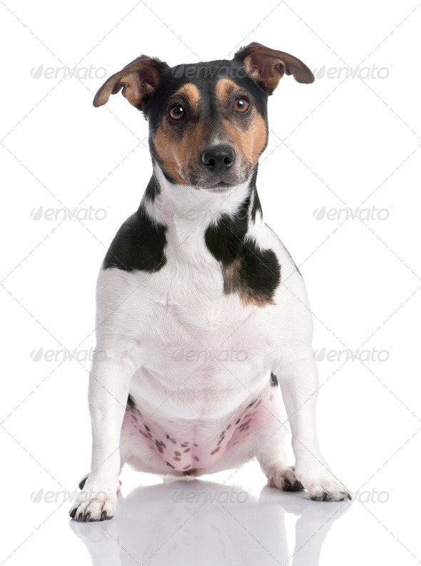 brown, black and white Jack russell sitting (2 years old) - Stock Photo - Images