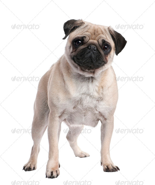 Beige pug standing up in front of the camera (2 years ols) - Stock Photo - Images