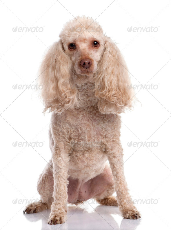 Old Poodle sitting (13 years old) - Stock Photo - Images