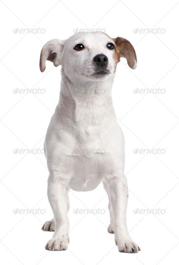 Jack russell (2 years old) - Stock Photo - Images