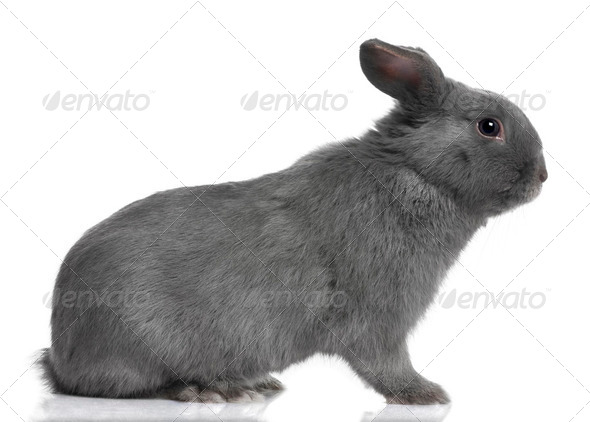 profile of a grey lop Rabbit (8 months old) - Stock Photo - Images
