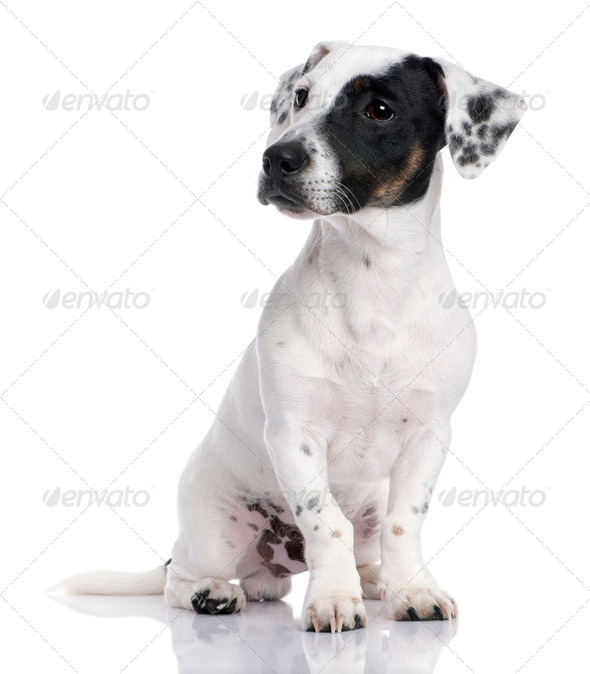 Jack russell puppy (8 months) - Stock Photo - Images