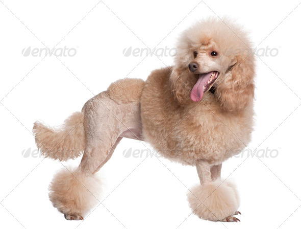 groomed apricot poodle (2 years old) - Stock Photo - Images