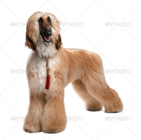 Young Brown Grommed Afghan Hound (1 years) - Stock Photo - Images