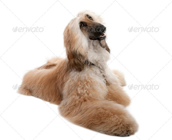 Brown Grommed Afghan Hound (7 years) - Stock Photo - Images