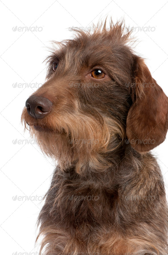 Brown Wire-haired dachshund (3 yeras old) - Stock Photo - Images