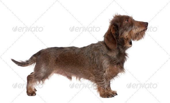 profile of a Brown Wire-haired dachshund (3 yeras old) - Stock Photo - Images