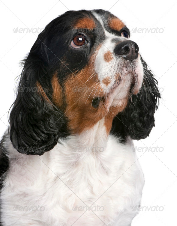 Close-up Cavalier King Charles Spaniel (4 years old) - Stock Photo - Images
