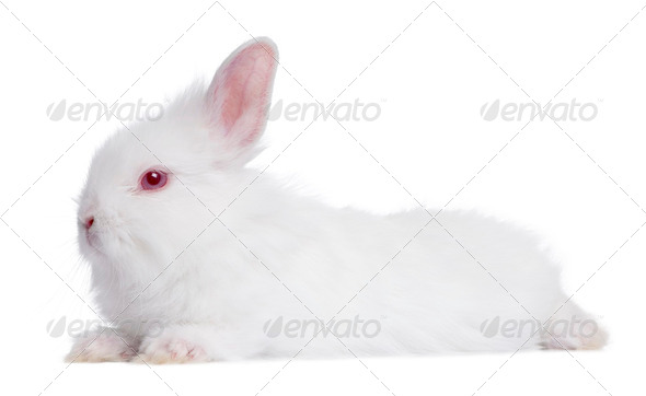 profile of a Young white Rabbit (5 weeks old) - Stock Photo - Images