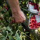 High angle close up of farmer standing in a field, holding punnet of freshly picked raspberries. - PhotoDune Item for Sale