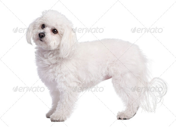 profile of a maltese dog (4 years old) - Stock Photo - Images