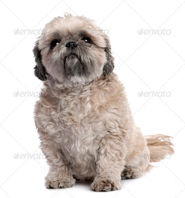 grey Shih Tzu (6 years old) - Stock Photo - Images