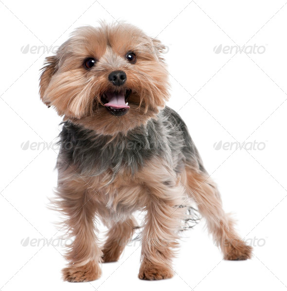 Yorkshire Terrier panting (2 years old) - Stock Photo - Images