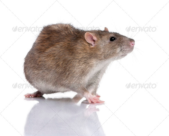 Brown Rat - Stock Photo - Images