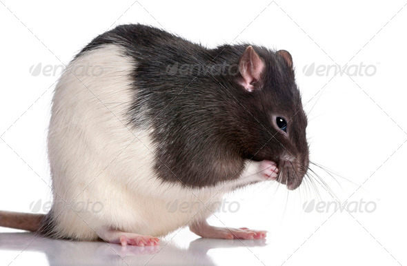 black and white Rat - Stock Photo - Images