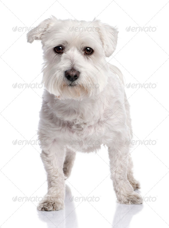 maltese dog (6 months old) - Stock Photo - Images