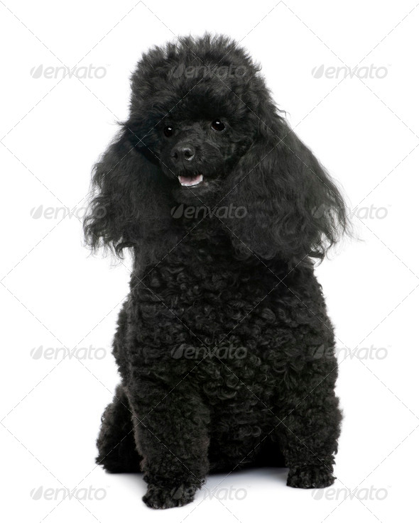 Black Poodle sitting in front (5 years old) - Stock Photo - Images