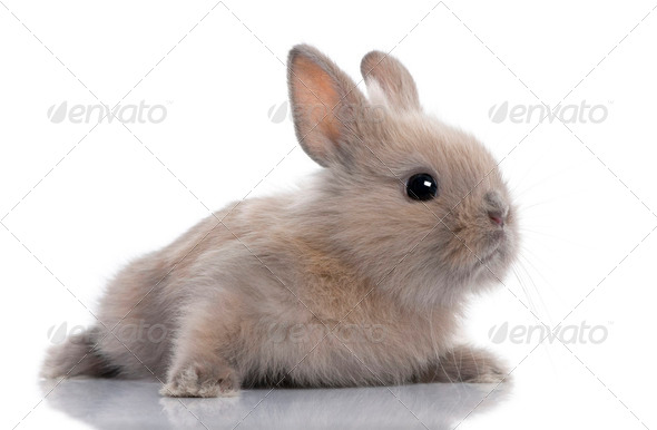 brown baby rabbit (5 weeks old) - Stock Photo - Images