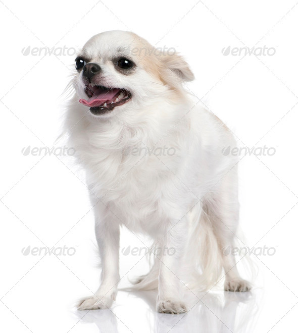 white chihuahua panting (2 years old) - Stock Photo - Images