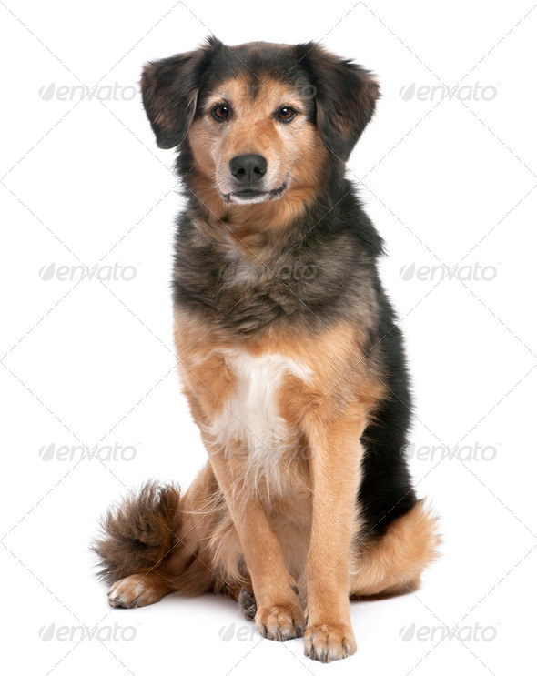 brown and black Mixed-Breed Dog sitting (11 years old) - Stock Photo - Images