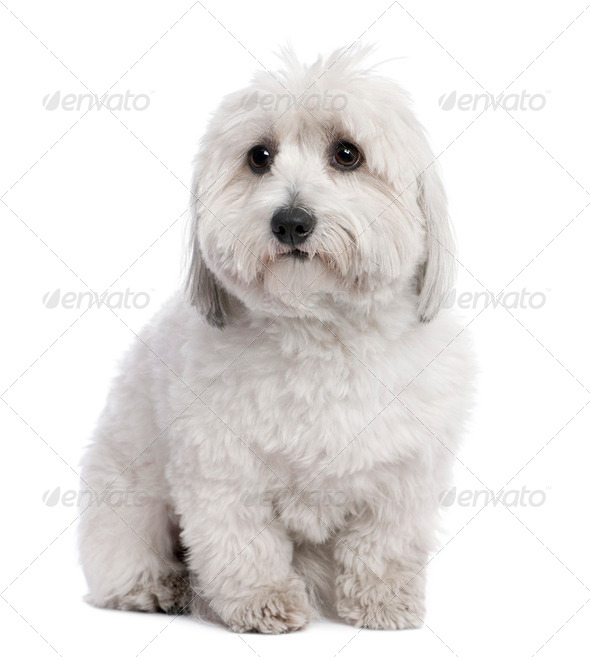 Coton de Tulear (2 years old) - Stock Photo - Images