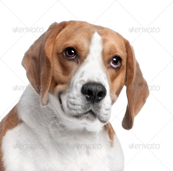 close-up on a Beagle's head (2 years old) - Stock Photo - Images