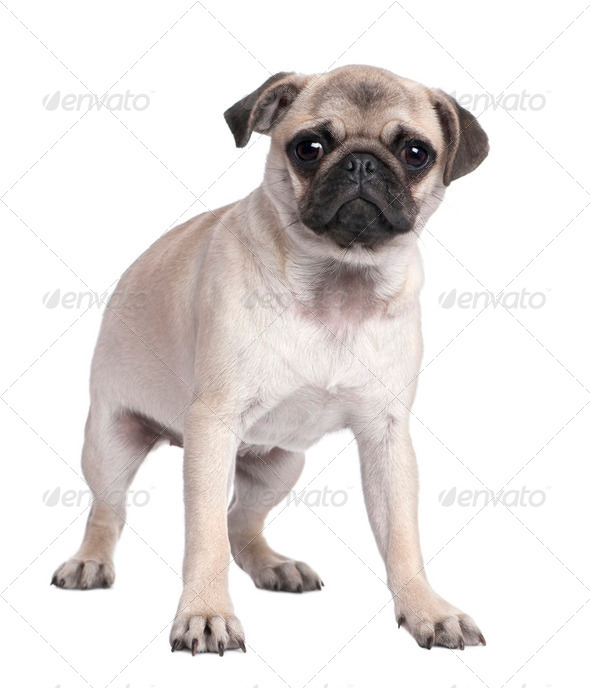 pug puppy (5 months old) - Stock Photo - Images