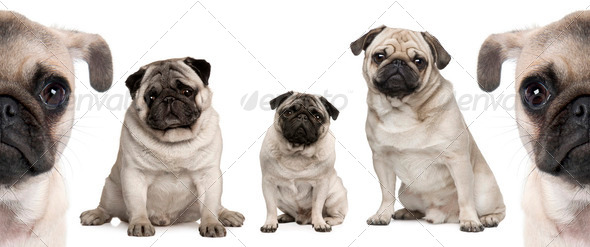 Group of Pug dogs in front of white background - Stock Photo - Images