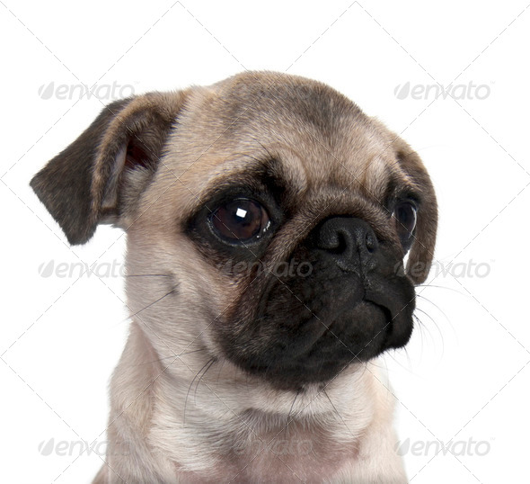 close-up on a pug puppy (5 months old) - Stock Photo - Images
