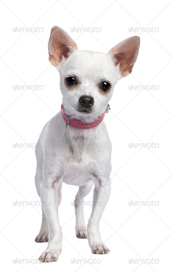 chihuahua puppy wearing a pink collar (6 months old) - Stock Photo - Images