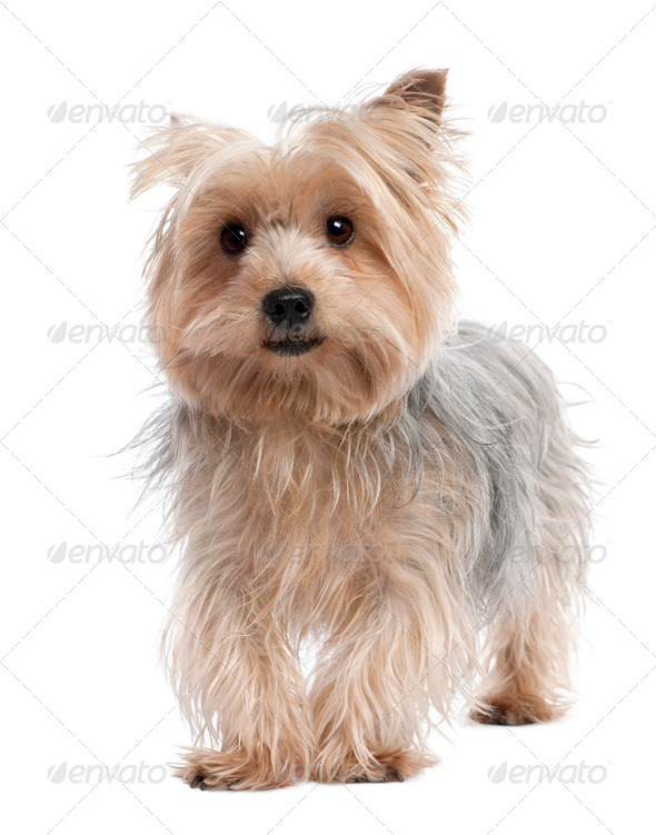 Yorkshire Terrier (3 years old) - Stock Photo - Images