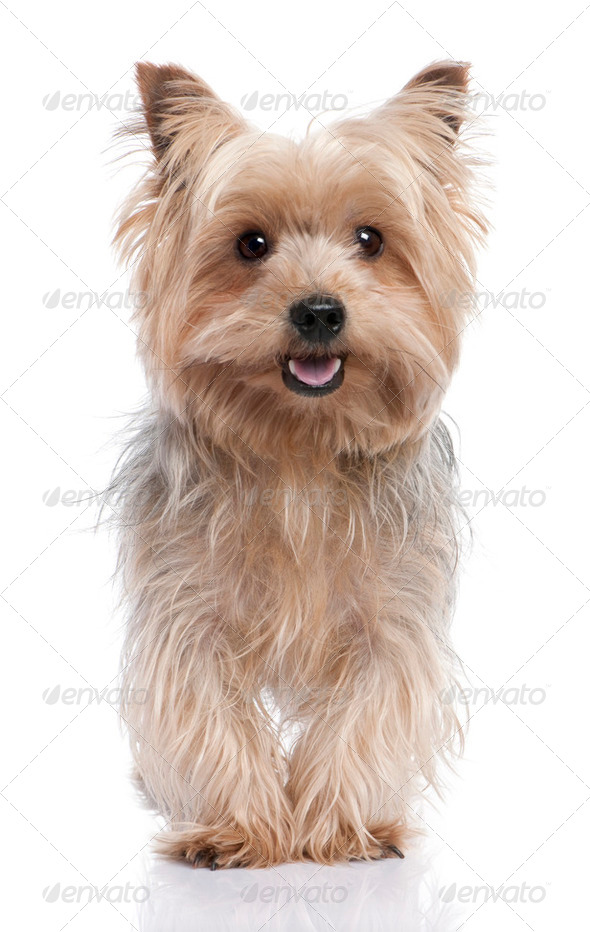 alert Yorkshire Terrier (3 years old) - Stock Photo - Images