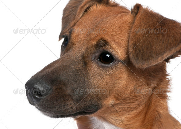close-up on a brown Bastard puppy (6 months old) - Stock Photo - Images