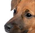 close-up on a brown Bastard puppy (6 months old)