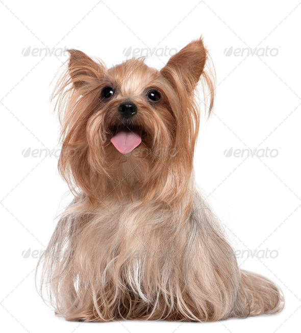 Yorkshire Terrier panting (3 years old) - Stock Photo - Images