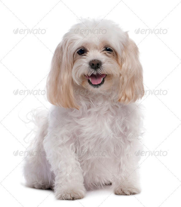 maltese dog sitting (11 years old) - Stock Photo - Images