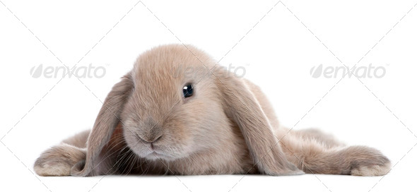 Brown Rabbit lying down - Stock Photo - Images