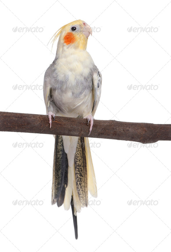 Cockatiel perching - Nymphicus hollandicus - Stock Photo - Images
