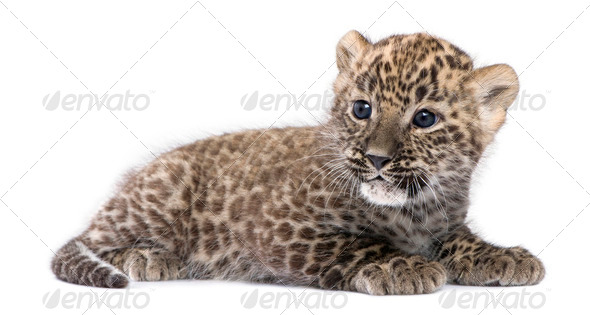 profile of a Persian leopard Cub lying down (6 weeks) - Stock Photo - Images
