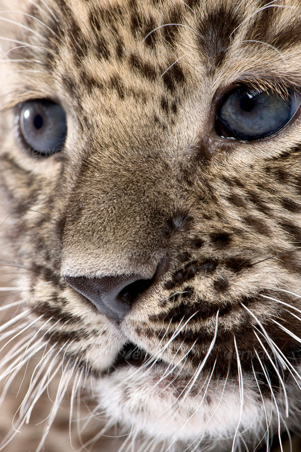 Close-up on a  Persian leopard Cub (6 weeks) - Stock Photo - Images