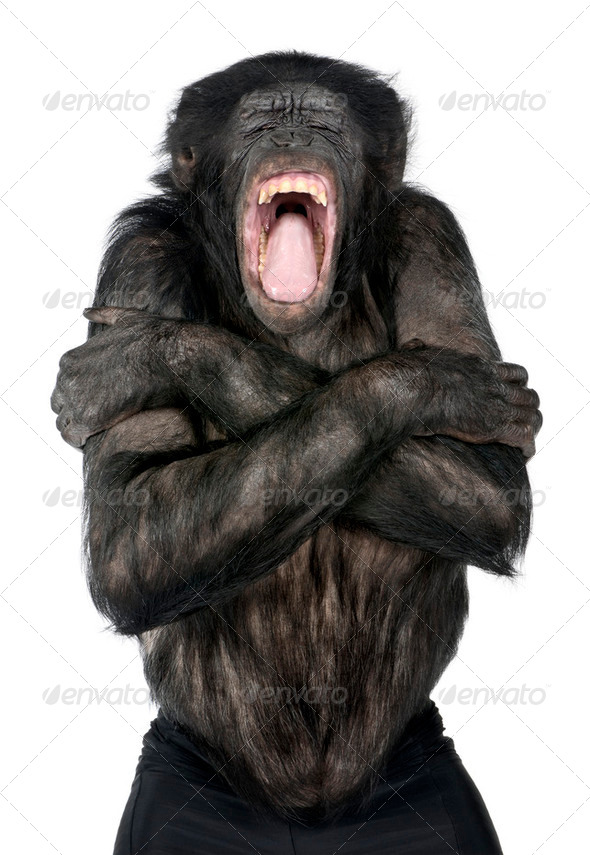 Mixed-Breed between Chimpanzee and Bonobo - Stock Photo - Images