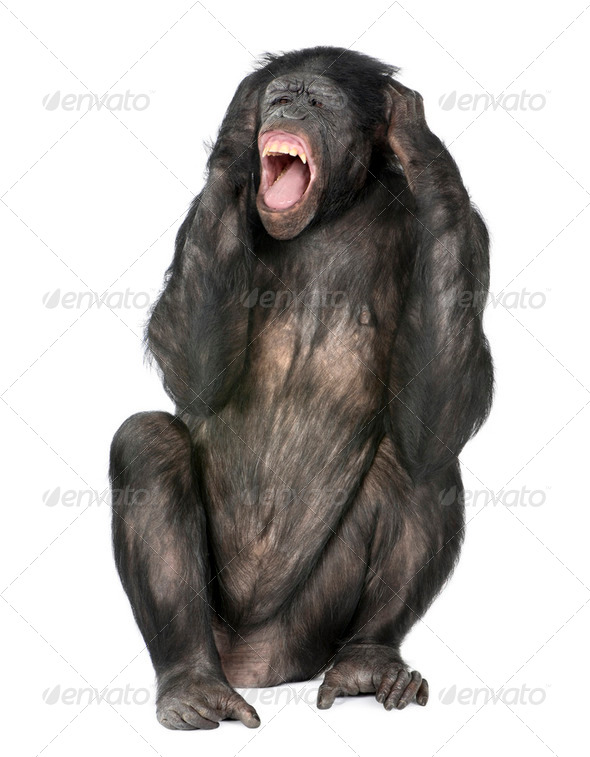 crazy monkey screaming - Stock Photo - Images