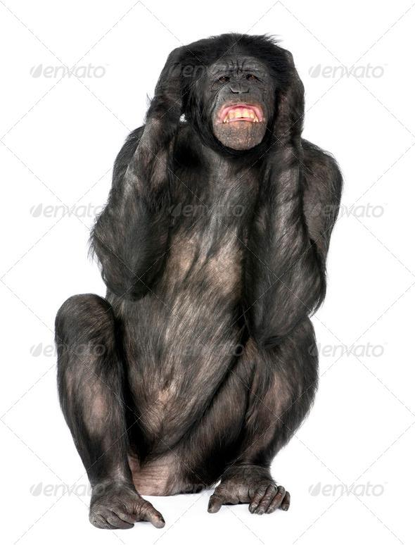 crazy monkey screaming - Stock Photo - Images