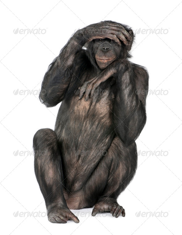 Portrait of chimpanzee with hand on head sitting in front of whi - Stock Photo - Images