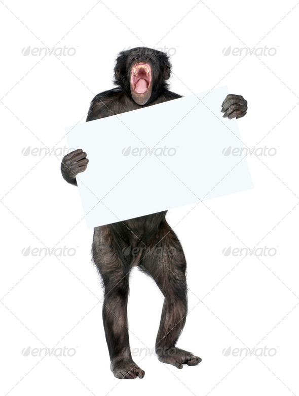 Mixed breed between Chimpanzee and Bonobo holding blank posterboard, 20 years old, studio shot - Stock Photo - Images